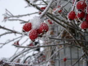 Winter beauty: rose hips