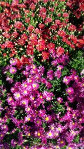 Fall Asters and Chrysanthemums