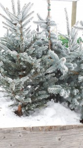 "Blue Spruce ""living"" Christmas trees"