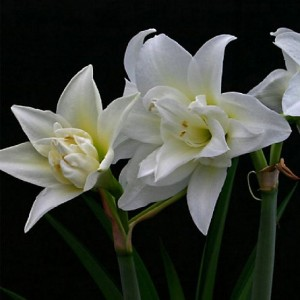 Double white amaryllis