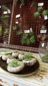 Tillansia (air plants) just in for winter gardening indoors