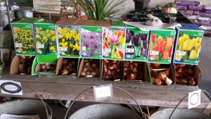 Bulbs & garlic to plant soon!